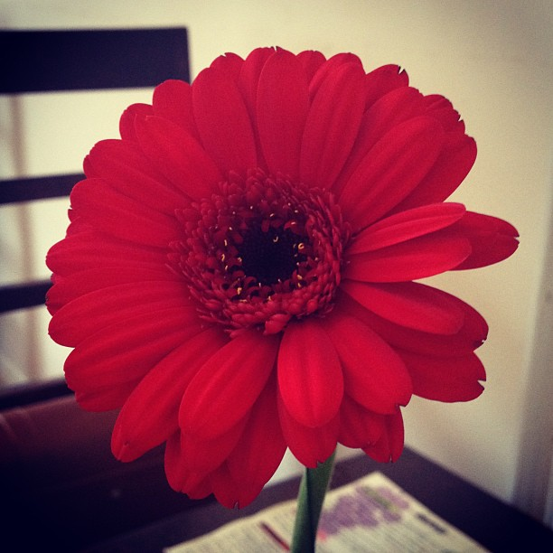 town-flower-red-gerbera