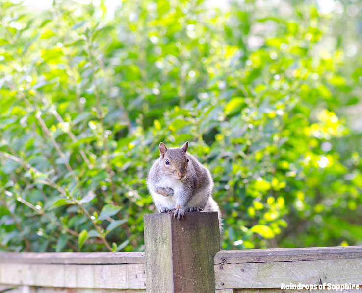 raindrops-of-sapphire-grey-squirrel-red
