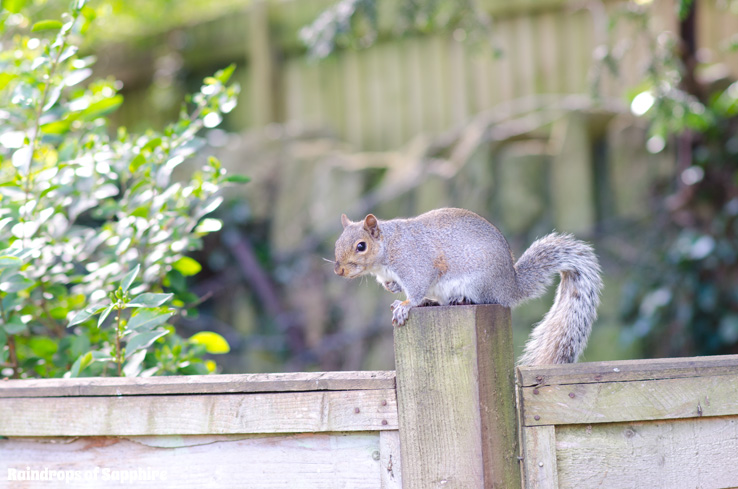 raindrops-of-sapphire-squirrel-fence