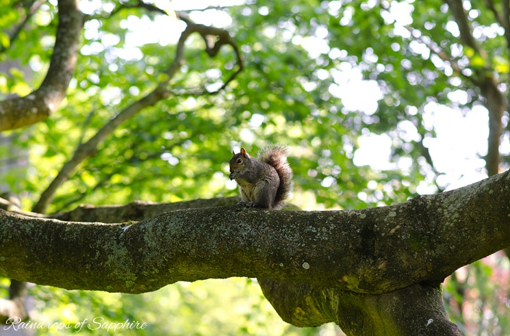 grey-english-squirrel