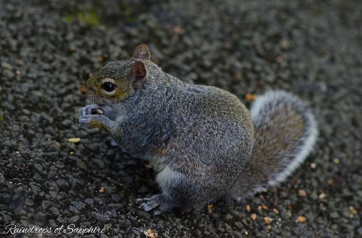 grey-red-squirrel