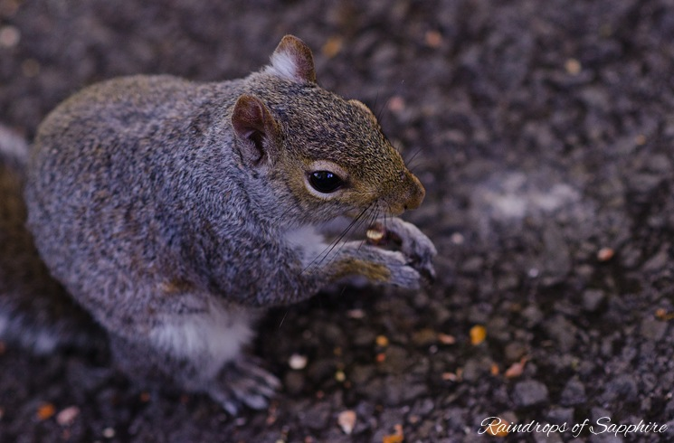 grey-squirrel-eating-nuts