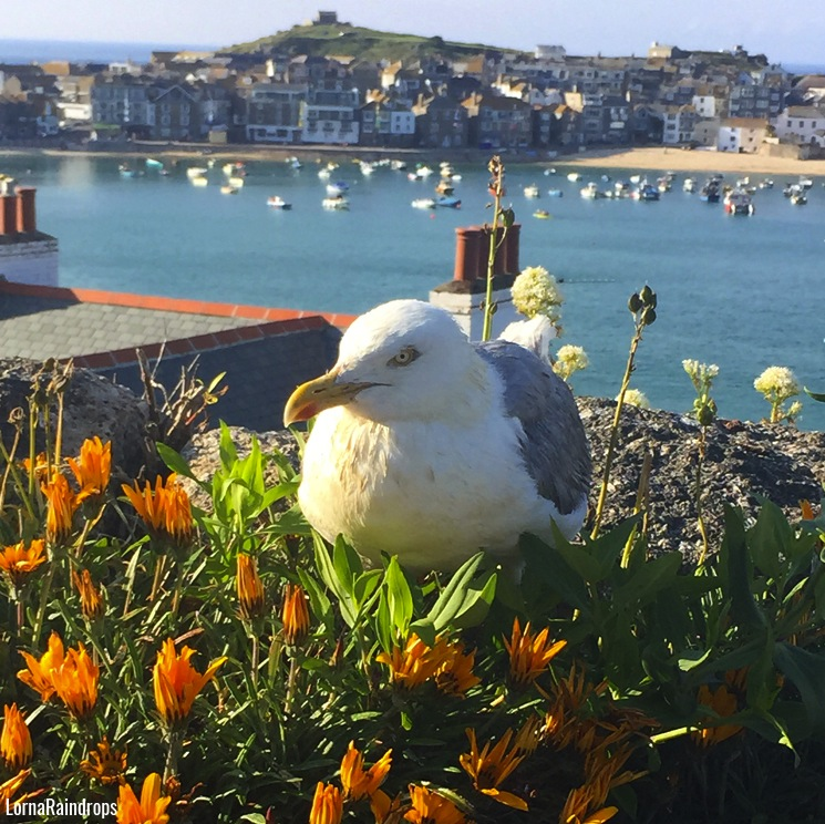 st-ives-seagull