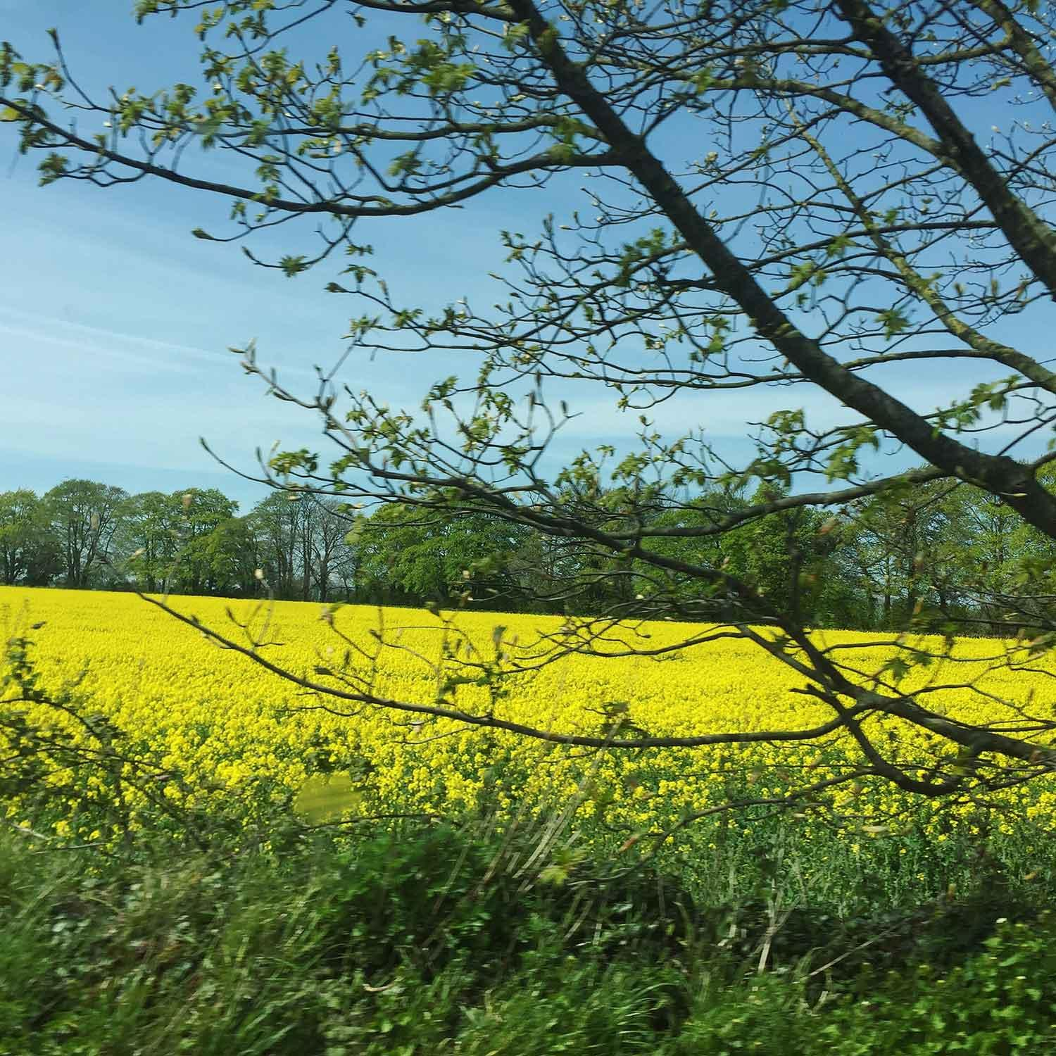 yellow-fields